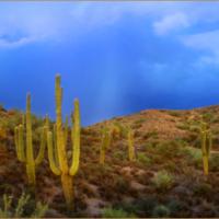 saguaros on black with border